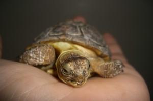 Young Desert Tortoise - Photo Courtesy of Wikipedia