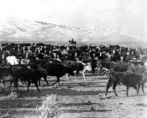 Westward Expansion Moving Cattle