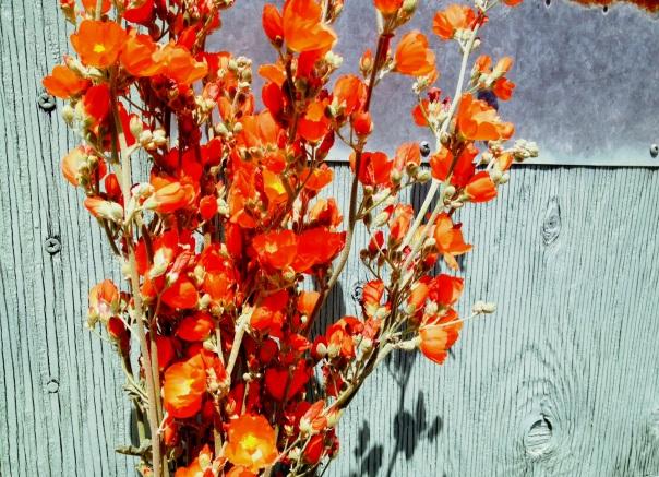 Desert Globemallow, Sphaeralcea ambigua
