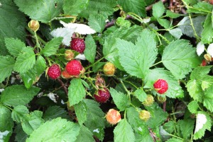 Pine Valley Mtn wild raspberries