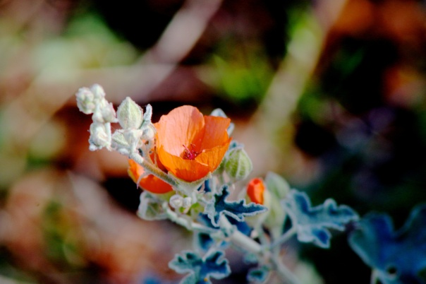Desert Globe Mallow, photo courtesy of chicbee04 flickr