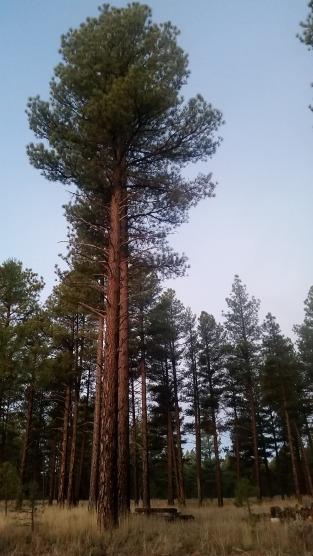 ponderosa-pines